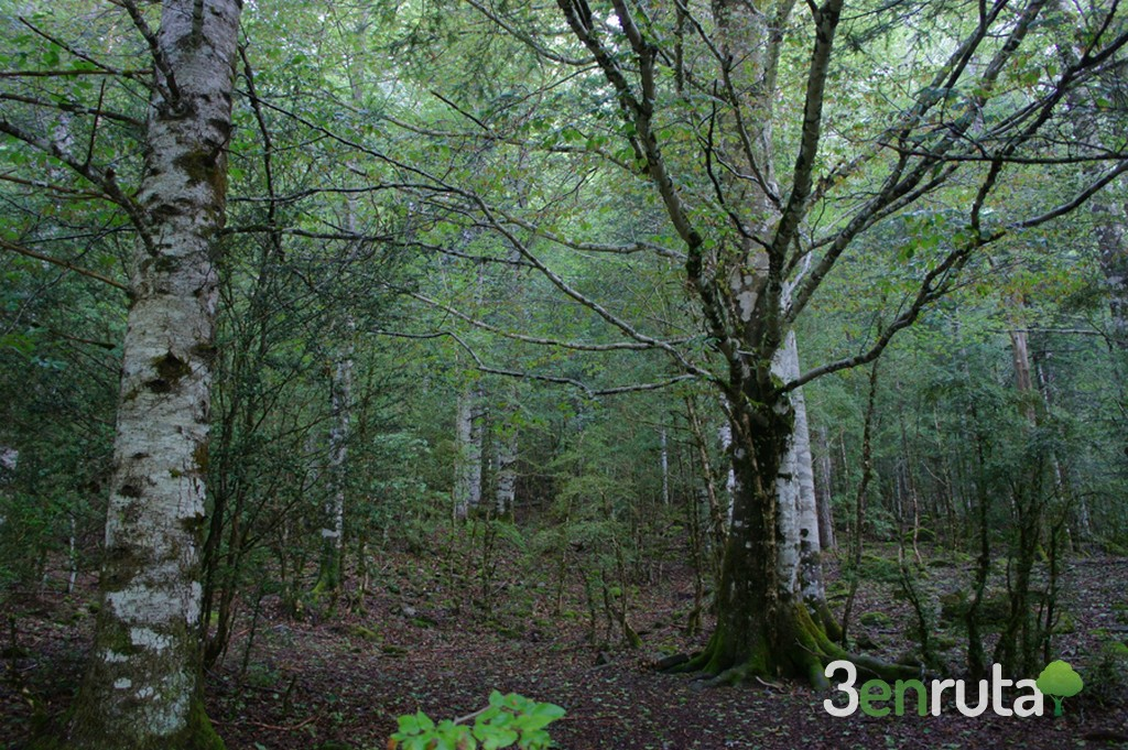 Bosque en Ordesa
