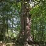 Roblón de Bustiello El Bosque de Peloño