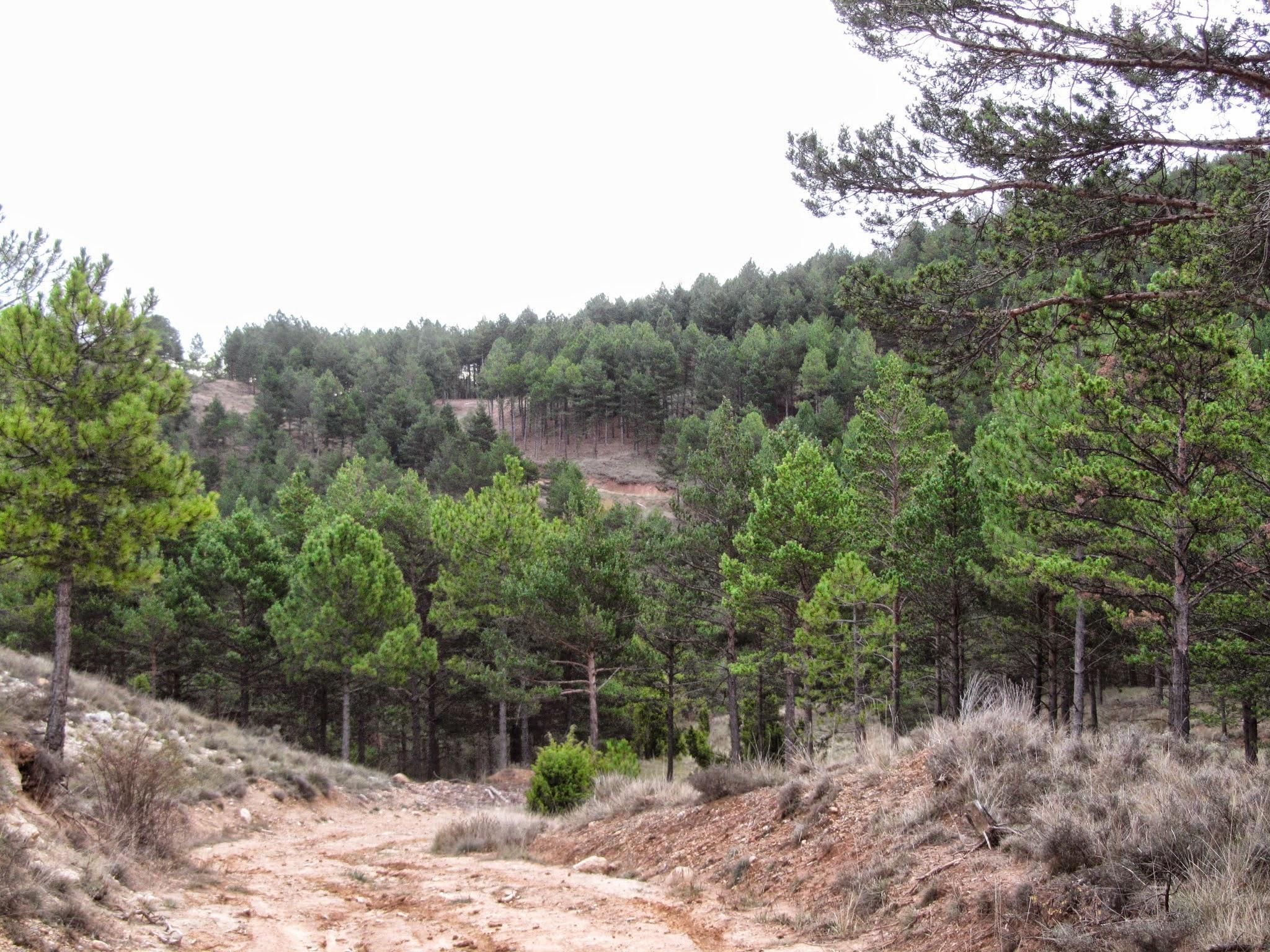 Magnificos pinares del Barranco de las Dehesillas