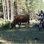 Vacas en el Puntal de la Tejera