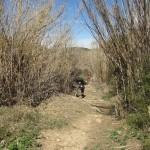 Cañar en la rambla del rio Sellent