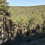 El bosque de pino en esta zona de Noguera es inmenso