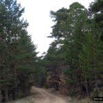 La pista siempre circula entre enormes pinares