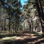 Siempre pedaleamos entre un magnifico bosque de pino albar