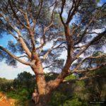 Magnifico pino piñonero junto a la laguna