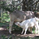 Vaca y ternero en el Ibón de Plan