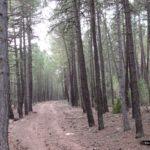 Y el bosque de pino negral va ganando en densidad