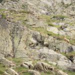 Cabras montesas subiendo al Puerto de Barrosa