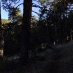 siempre iremos dentro de grandes bosques de Pino Albar